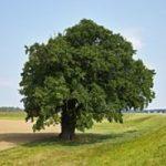 بلندترین درخت زنده زمین ۱۱۵ متر ارتفاع دارد