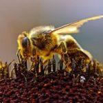 زیباترین زنبور در جهان