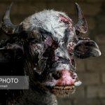 تصاویری از سوختن گاومیش ها در تالاب هورالعظیم ۱۴+