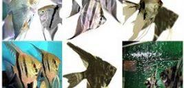 تکثیر و پرورش ماهی انجل