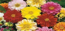 نحوه پرورش ونگهداری گل کوکب