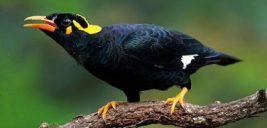 مرغ مینا گوشواره ای | آموزش حرف زدن به مرغ مینا