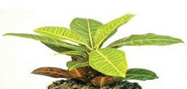 پرورش و نگهداری گل کرچک هندی یا همان کروتن