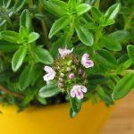 خواص گیاه مرزه برای درمان بیماری ها چیست؟!