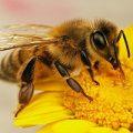 تلاش زنبورها برای نجات جان ملکه!