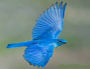 جذاب و خواندنی ، طالع بینی ژاپنی پرنده آبی
