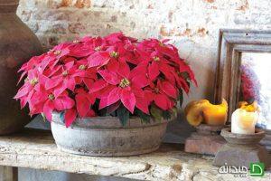 شرایط نگهداری گیاهان برگ قرمز