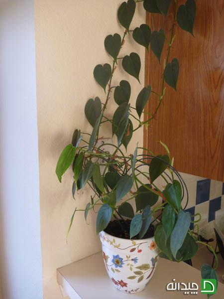 شش گیاه پیچکی آپارتمانی