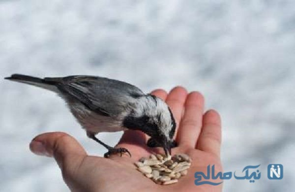گندمهای دعا خوانده را به مرغان بدهید و حاجت بگیرید