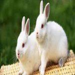 خوردن گوشت خرگوش چه حکمی دارد؟