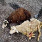 روش ذبح گوسفند به نیت شفای مریض