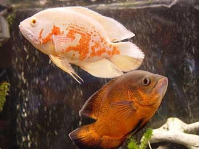 ماهی اسکار