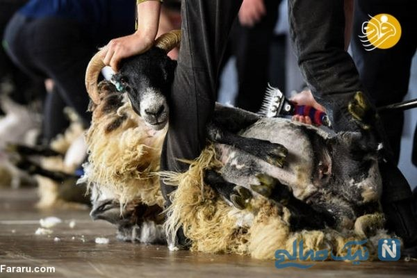 مسابقه پشم زنی گوسفندان