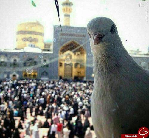 سلفی کبوتر با حرم امام رضا (ع)+عکس