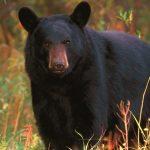 حمله وحشتناک خرس به یک دامدار در مازندران