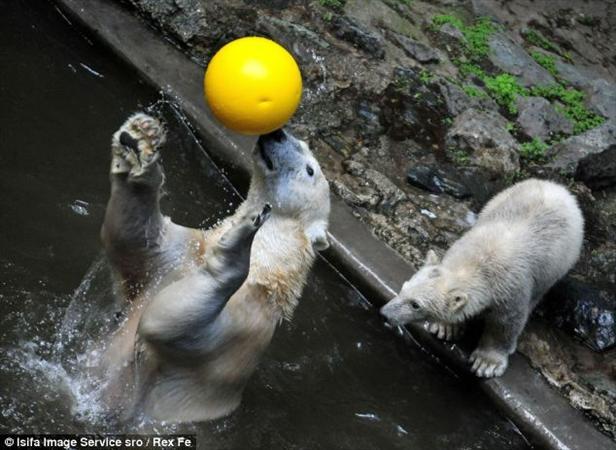 توپ بازی خرس ها+تصاویر