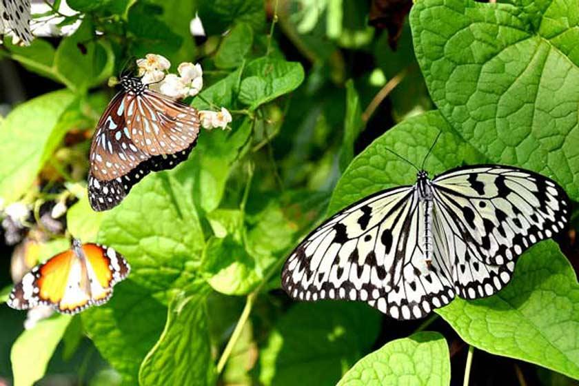 باغ پروانهها زیباترین باغ بانکوک با پروانه های منحصربه فرد+تصاویر