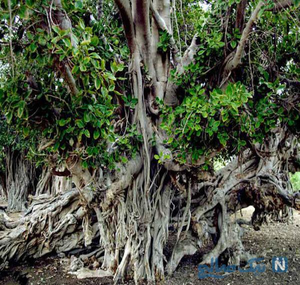 درخت مکرزن یا انجیر معابد
