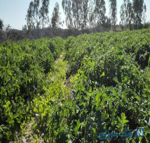 مزارع سرسبزگوجه فرنگی