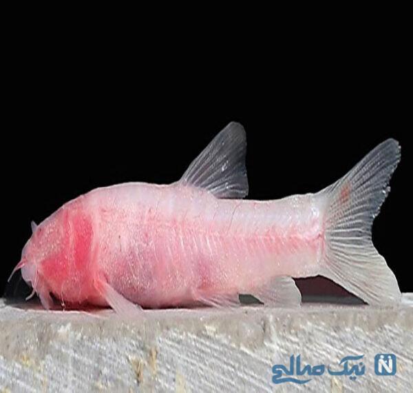 ماهی کور