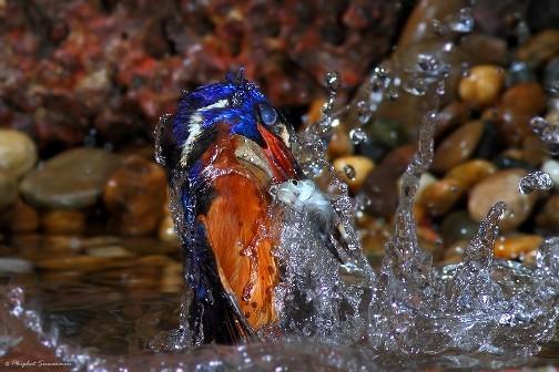 عکسهای دیدنی از یک پرنده ماهیگیر