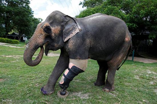 ساختن پای مصنوعی برای فیل هایی که در اثر انفجار مین پاهای خود را از دست داده اند!+تصاویر