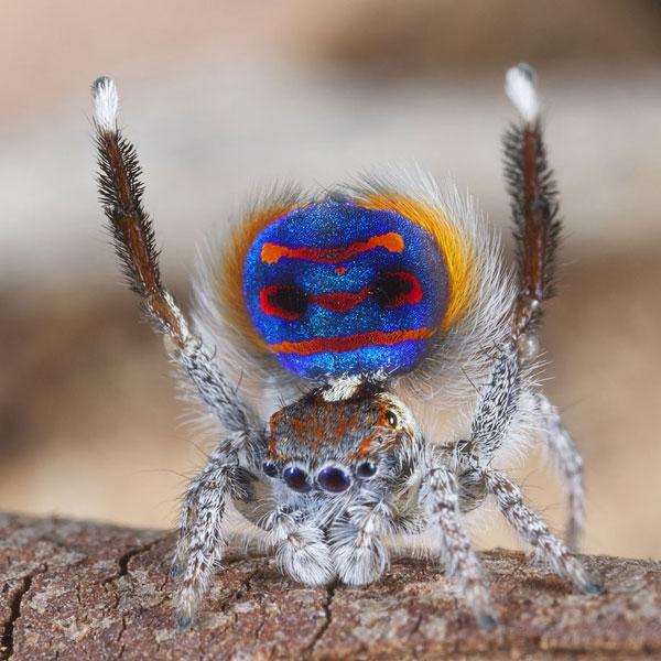 عنکبوت طاووسی+عکس