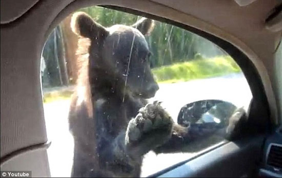 خرس های گدا در جاده+تصاویر