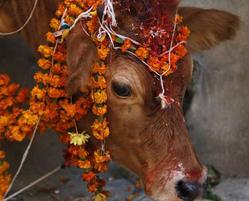 پرستش گاو با رد شدن از زیر آن و تاریخچه گاوپرستی در هند!+تصاویر