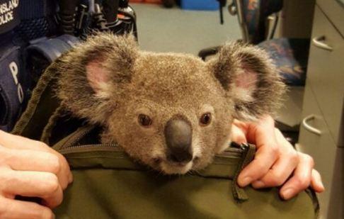 قاچاق حیوان دوست داشتنی توسط زن ۵۰ ساله استرالیایی!+تصاویر