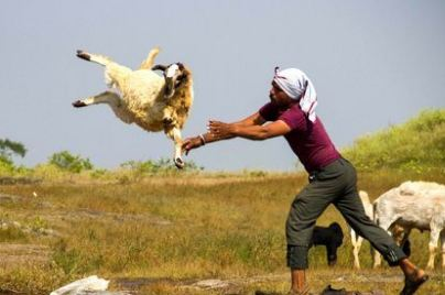 چوپان هندی و روشی برای تمیز کردن و شستن گوسفندان!+تصاویر