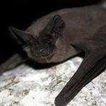 خفاش با 12 گرم وزن و سرعتی بیش از 160کیلومتر در ساعت!+عکس