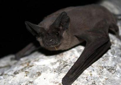 خفاش با ۱۲ گرم وزن و سرعتی بیش از ۱۶۰کیلومتر در ساعت!+عکس