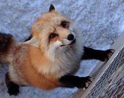 روباه های زیاد و خوشبخت و بی خیال در این دهکده!+تصاویر