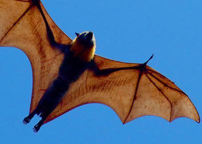 روباه پرنده که تا فواصل ۵۰ کیلومتر در شب پرواز میکند!+تصاویر
