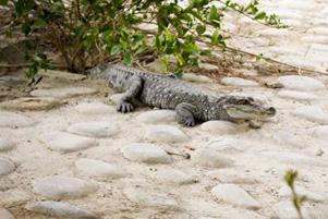 تمساح و پروش آن در شهر چابهار استان سیستان و بلوچستان!+تصاویر