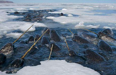 نهنگ دریایی قطب شمال ،گونه منحصربهفردی از نهنگهای شاخ دار!+تصاویر