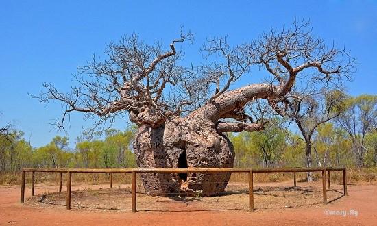 درخت بائوباب استرالیایی که به عنوان زندان استفاده می شد!+تصاویر