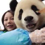 پاندایی در چین که عاشق سلفی گرفتن است!+تصاویر