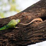 مبارزه یک طوطی برای دور کردن دشمن از آشیانه فرزندانش!+تصاویر