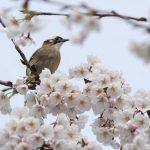 شکوفه های بهاری در آغاز فصل بهار+تصاویر