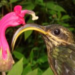 مرغ مگس نوک داسی و دم نخودی!+تصاویر