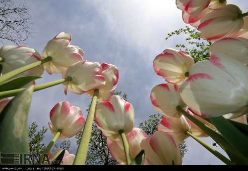 جشنواره گلهای پیازی