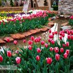 جشنواره گل های لاله در شهر کرج!+تصاویر