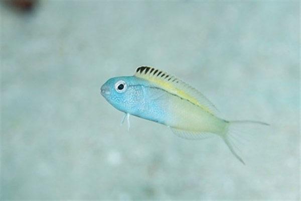 ماهی ای که اثر نیش آن مانند هروئین است!+تصاویر