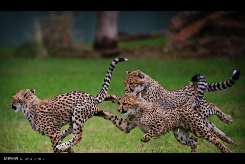 یوزپلنگ های وحشی