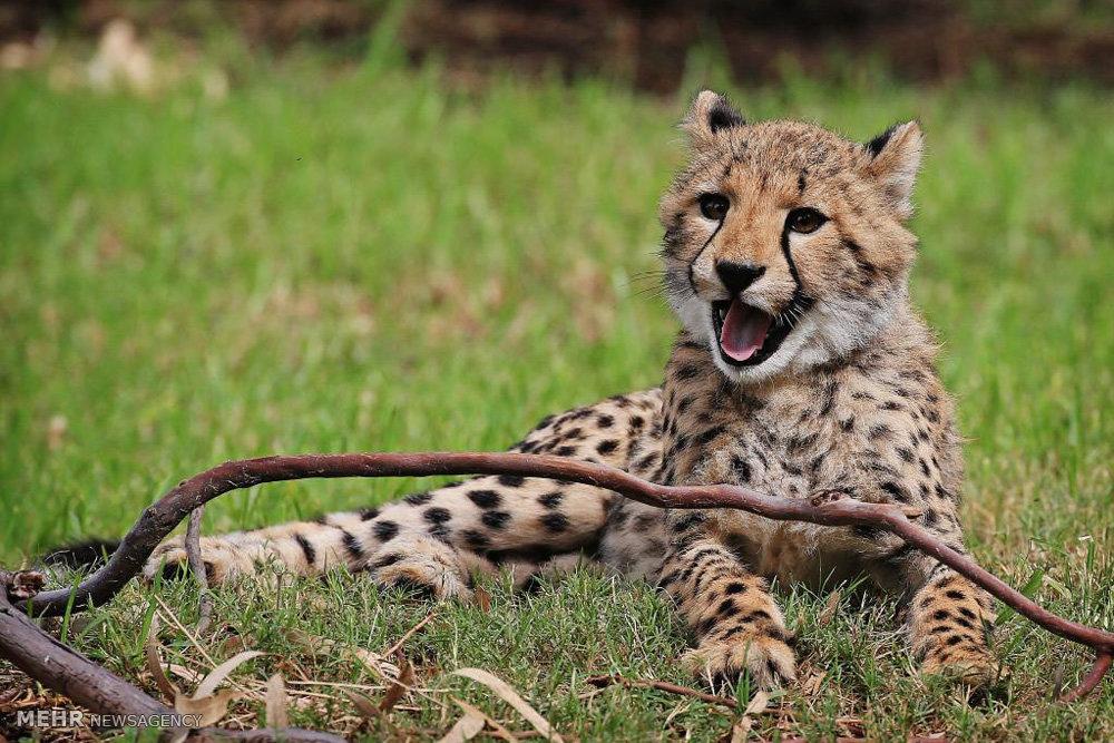 یوزپلنگ های وحشی باغ وحش استرالیا را ببینید!+تصاویر