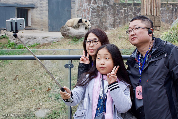 نجات دادن پانداها از خطر منقرض شدن در چین!+تصاویر