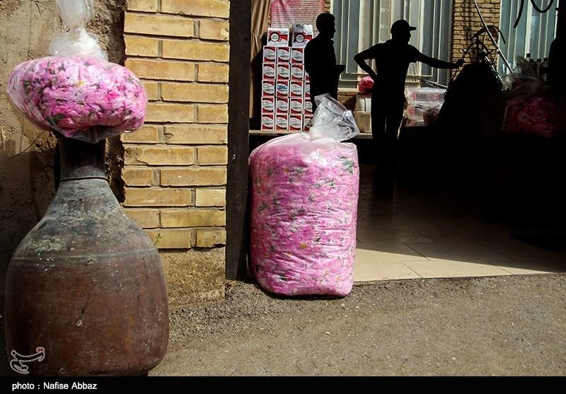 برداشت گل محمدی در کاشان