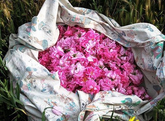 برداشت گل محمدی در شهر زیبای کاشان!+تصاویر